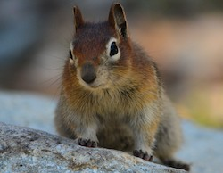 chipmunk in Gibbons Pass, MT