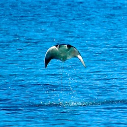 Life in a boat sometimes includes leaping manta rays