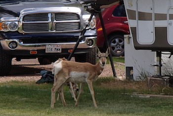 Pronghorn Antelope at Lucerne Valley Campground