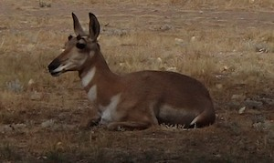 Pronghorn antelope at Lucerne Valley Campground in Flaming Gorge, Wyoming