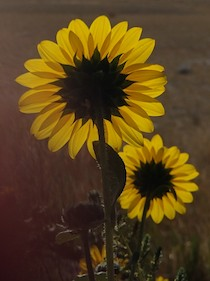 Sunflowers spotted while boondocking in Dillon, MT