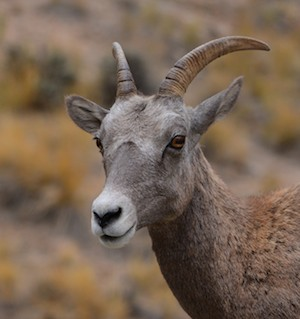 Bighorn sheep in Flaming Gorge Wyoming