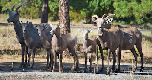 Bighorn sheep at Flaming Gorge's Canyon Rim Campground, an RVers delight