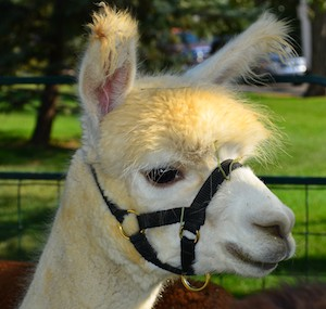 Fruita Colorado Farmers Market Alpacas for sale