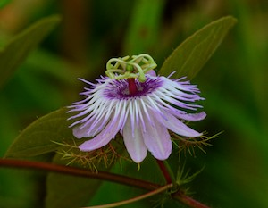 Passion flower growing at Marina Chiapas in Puerto Chiapas Mexico