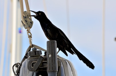 A grackle sits on our outboard in Marina Chahue Huatulco Mexico
