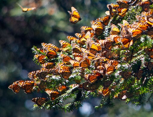 El Rasario Monarch butterflies Morelia Mexico living aboard blog