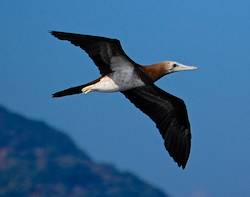 Brown booby flying