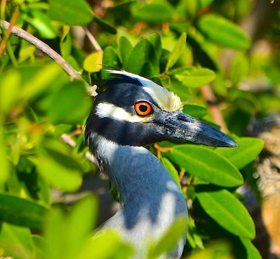 Yellow crowned high heron adult