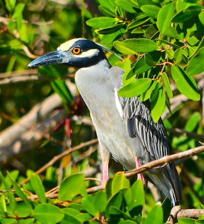 6 Yellow crowned night heron adult