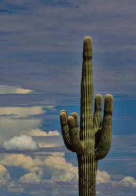 Saguaro cactus in the clouds