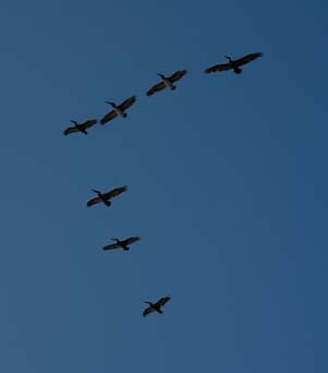 Pelicans in formation