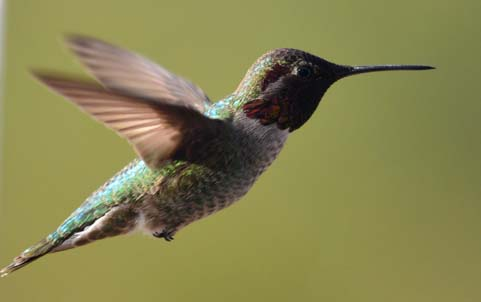 Hummingbird's feathers are dark in this light