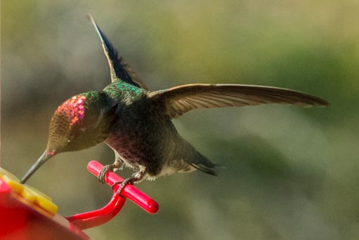 Hummer wings in focus high isd