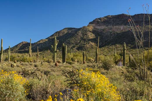 Brittlebush blooming with cactus