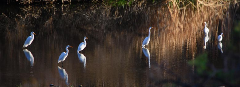Egret reflections in the water