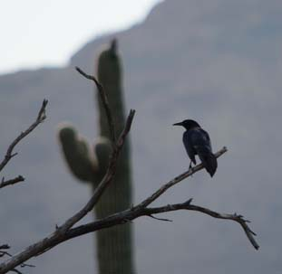 Mexican boat tail grackle