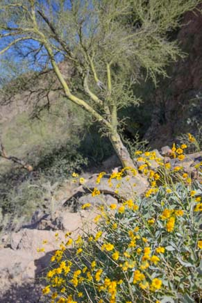 Brittlebush and palo verde on hiking trail