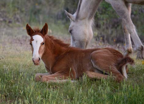 Colt lying with mom