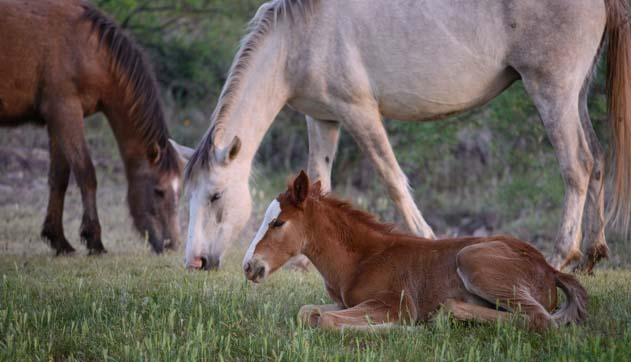 Young wild foal lying near horses