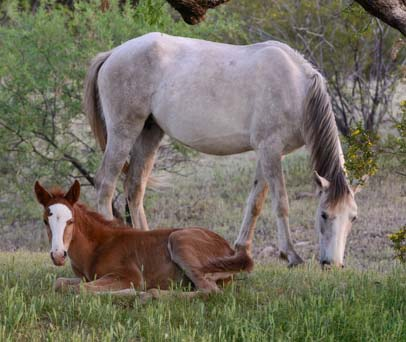 Baby wild horse with mom