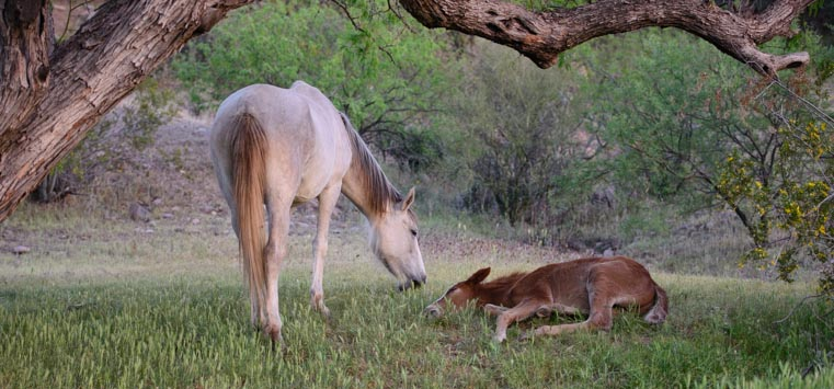 Wild horse mother and baby nuzzle