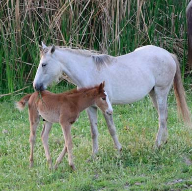 Wild colt leans into its mother