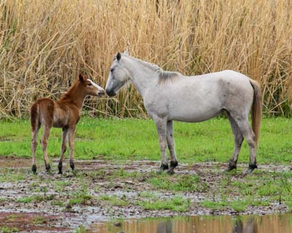 Wild baby horse nuzzles it mother
