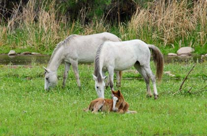Wild horses grazing with a colt