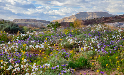 Fields of wildflowers in Southern Utah