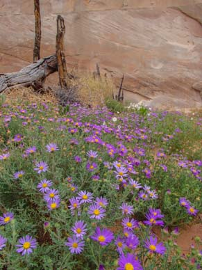 Lavender daisies with an old log fence in Utah