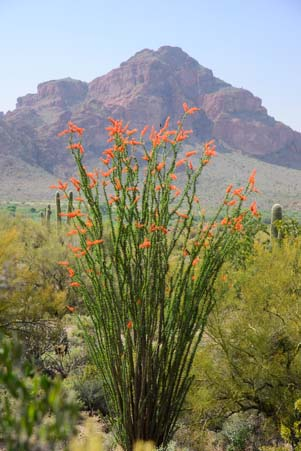 Flowering ocotillo and mountain in Arizona