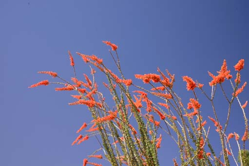 Flaming ocotillo flowers