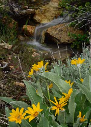 Wildflowers and waterfalls in Lamoille Canyon