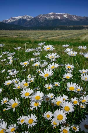 Daisies and the Wallowa Mountains in Oregon