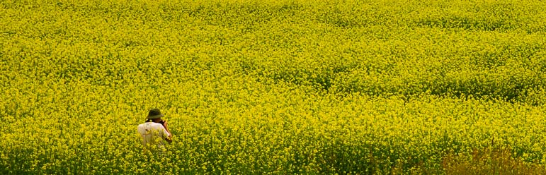 Mark gets lost amid the mustard flowers