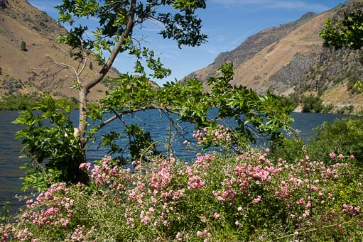 Rose bushes at Hell's Canyon Idaho