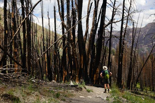 Fire damaged trees from the Beaver Creek Fire in Idaho
