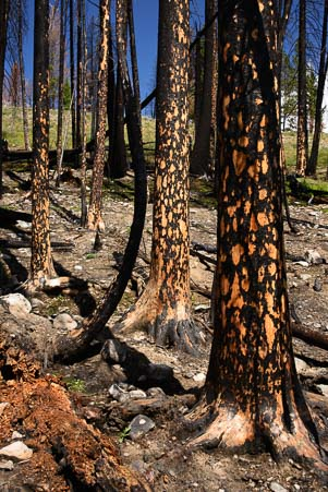 Bark falls off the trees from the Beaver Creek Fire in Idaho