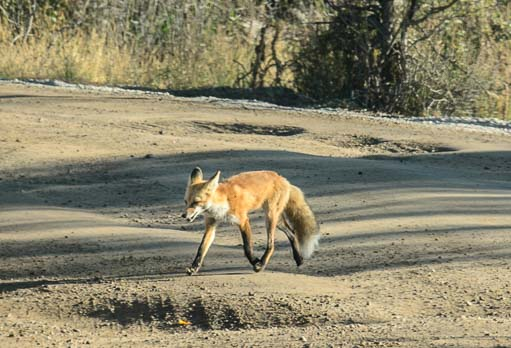 A red fox crosses the road in the Tetons Wyoming