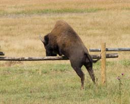 Bison jumping over fence Grand Teton Wyoming