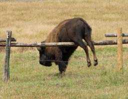 Bison jumping in the Tetons Wyoming