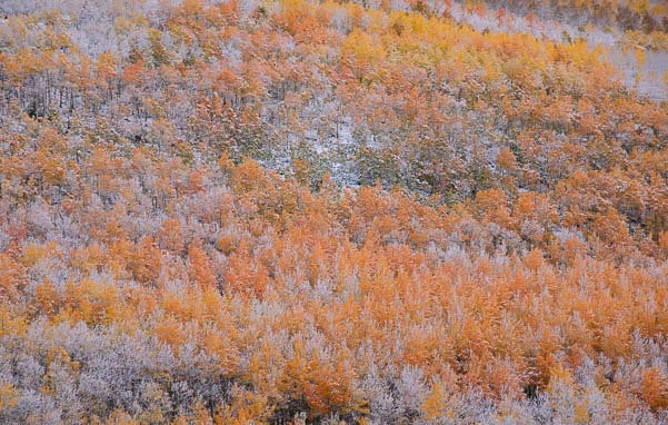 Aspens in autumn with snow in Colorado