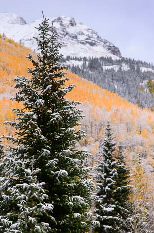 Evergreens and aspen in Colorado autumn snow
