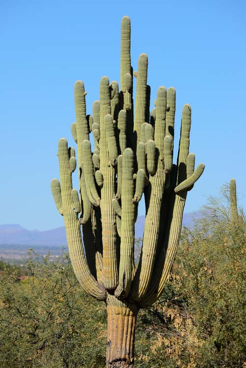 Saguaro cactus with many arms in Arizona's Sonoran desert