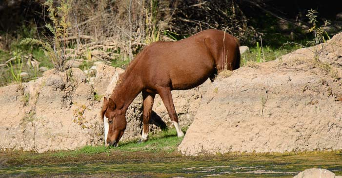Wild horse at the Salt River in Arizona