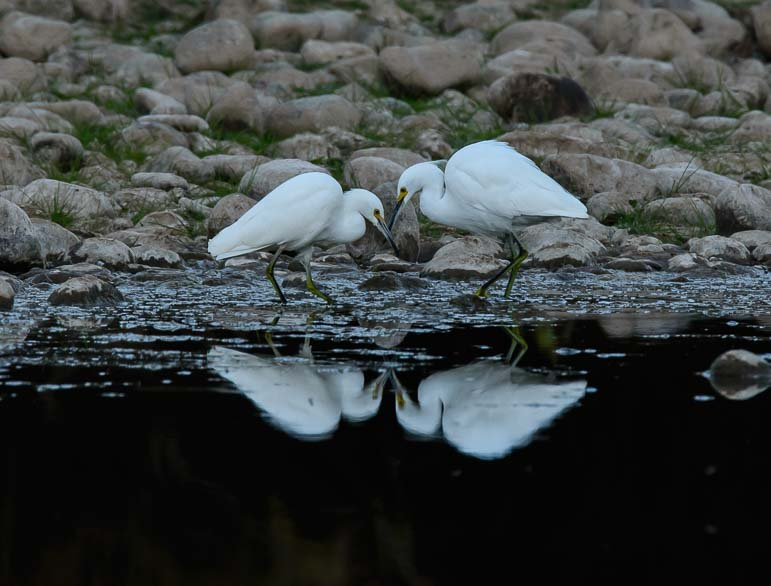 Snowy Egrets by the water's edge