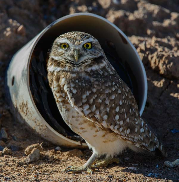 A burrowing owl at Zanjero Park in Gilbert AZ
