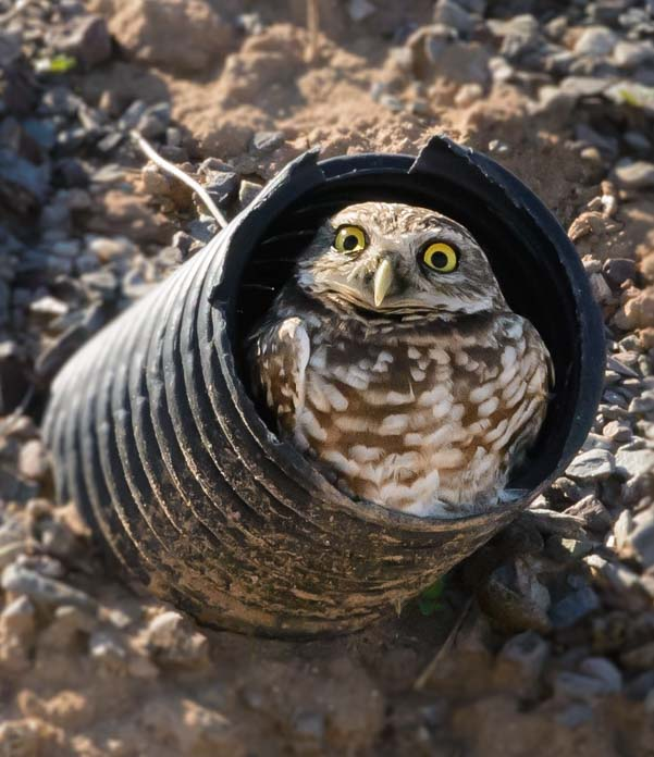 An owl looks out of his burrow