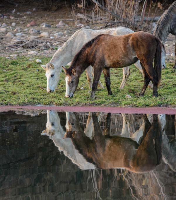 Pair of wild horses drinking at the Salt River in Phoenix, Arizona